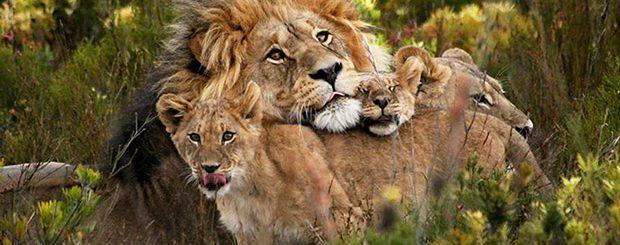 Löwenfamilie in Südafrika